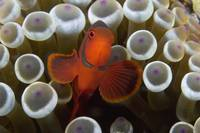 Indonesia, Male Spine-Cheek Clownfish Within Sea A