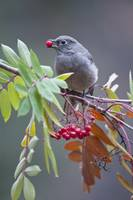 Townsend's Solitaire With Mountain Ash Berry In B