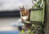 Red Squirrel Sitting On A Bird House Hung On A Tre