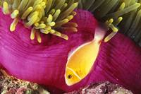 Micronesia, Bright Orange Anemone Fish Swim Near P