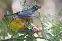 American Robin With Mountain Ash Berry In Beak, Pe