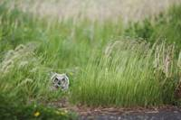 Great Horned Owl In The Grass, Thunder Bay, Ontari