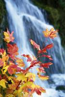 Maple Vine With Waterfall