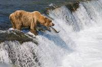 Brown Bear Fishing For Salmon In Brooks Falls, Kat