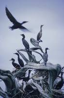 Cormorants Fly Above Driftwood, Galiano Island, Br