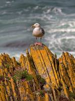 A Herring Gull, Colonsay, Scotland