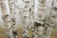 Birch Trees In The Fog In Early Spring, Ontario, C