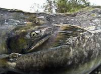 Pink Salmon Homing To Their Natal Stream To Spawn,