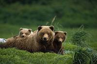 Grizzly bear mother and cubs lay in field