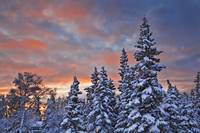 View of snow covered spruce trees