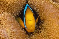 Fiji, Orange Fin Anemonefish Hiding In Its Host An