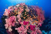 Fiji, Alconarian And Gorgonian Coral With Schoolin