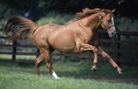 Galloping Thoroughbred Horse
