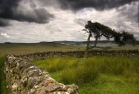 Stone Fence And Tree With Storm Clouds, Yorkshire,