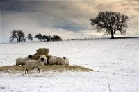 Sheep In Field Of Snow, Northumberland, England