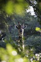 Giraffe As Seen Looking Through Trees, Namibia, Af