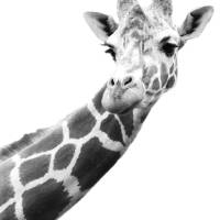 """Black And White Portrait Of A Giraffe"" by DesignPics"