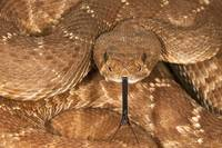A Defensive Red-Diamond Rattlesnake
