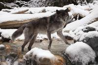 Wolf in a snowy landscape