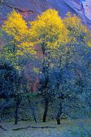 Three Thin Autumnal Trees In Front Of Rock Cliff