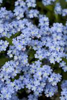 Blooming Blue Flowers, Victoria, British Columbia,