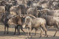 Migrating Herd Of Wildebeest, Masai Mara, Kenya, A