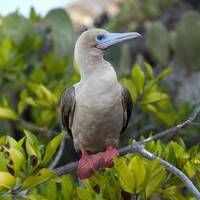 A Red-Footed Booby Galapagos, Equador