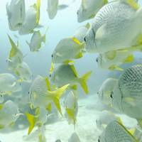 A School Of Yellow-Tailed Grunt Fish  Swimming Und