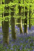 Bluebells In The Woods, Nottinghamshire, England