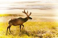 Elk Wanders On Yellow Landscape