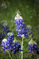 Texas Bluebonnet Early Bloom
