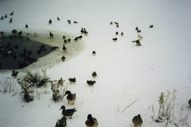 Ducks in Winter2