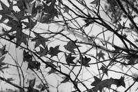 Black and White Leaves by Carol Groenen
