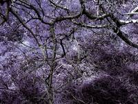 Purple Thicket