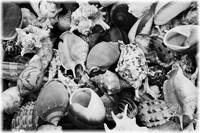Black and White Shells by Carol Groenen