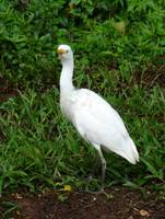 Cattle Egret on Kauai