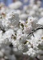 Springtime White Blossoms by Carol Groenen