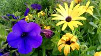 Blue Purple'n Yellow Wildflowers
