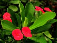 Red Flower Buds