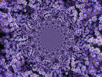Purple Flowers Kaleidoscope by Carol Groenen