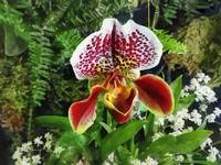 Paph Fiordland Sunset Orchid