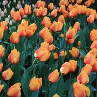 Apricot Tulips by Carol Groenen