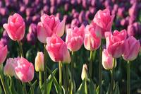 Pink and Purple Tulips by Carol Groenen