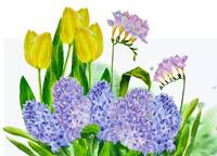 Hyacinth and yellow tulips