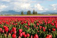 Clouds Mountains and Tulips by Carol Groenen