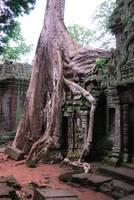 Tree roots overgrowing a wall in Prohm Cambodia