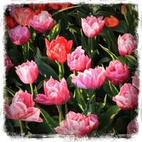 Pink Ruffly Tulips with Border by Carol Groenen