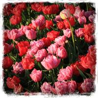 Pink and Red Ruffly Tulips with Border by Carol Groenen