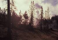 Burned trees in Yellowstone National Park.
