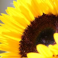 Sunflower Up Close by Karen Adams